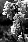 5th Apr 2019 - Pear blossom