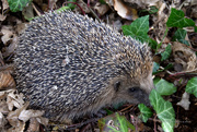6th Apr 2019 - hedgehog