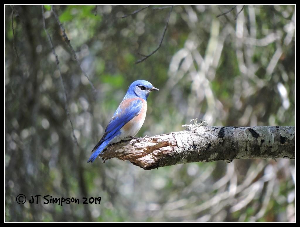 Illuminating Western Bluebird... by soylentgreenpics