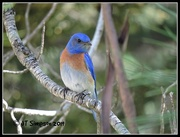6th Apr 2019 - The Bluebird of Happiness...