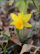 6th Apr 2019 - First Daffodil 2019