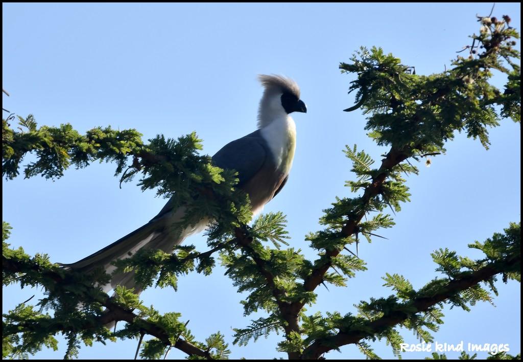 Bare-faced Go-away-bird by rosiekind