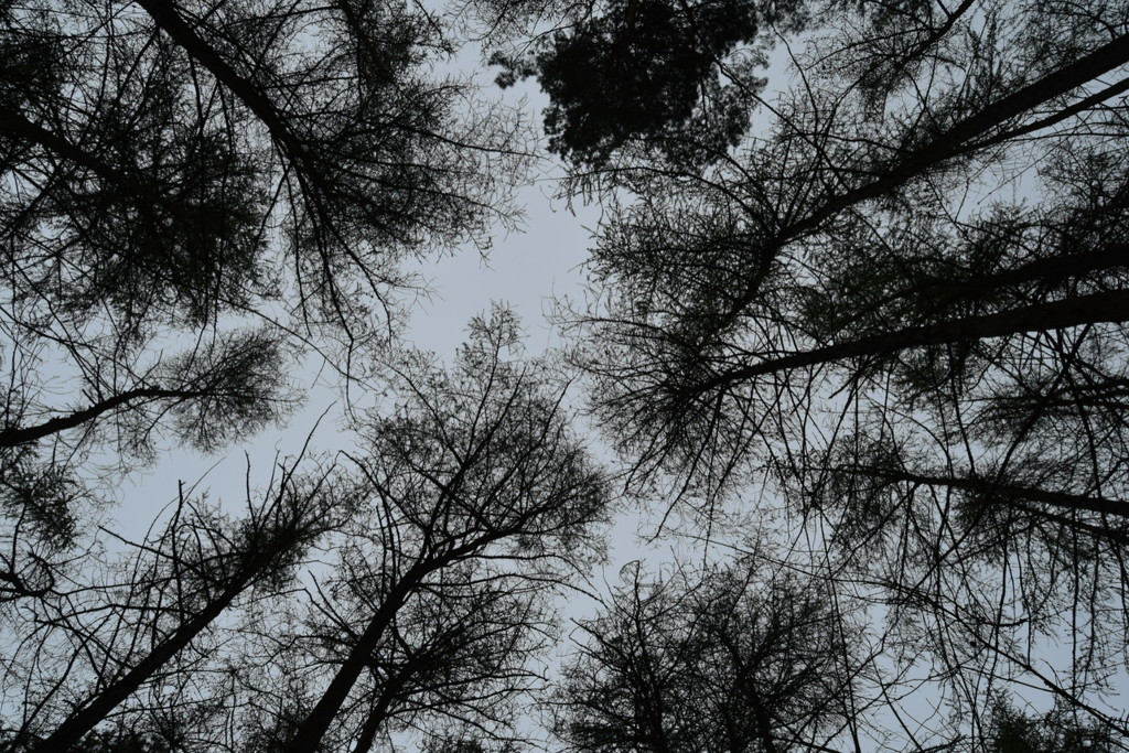Grey skies and tall trees by dragey74