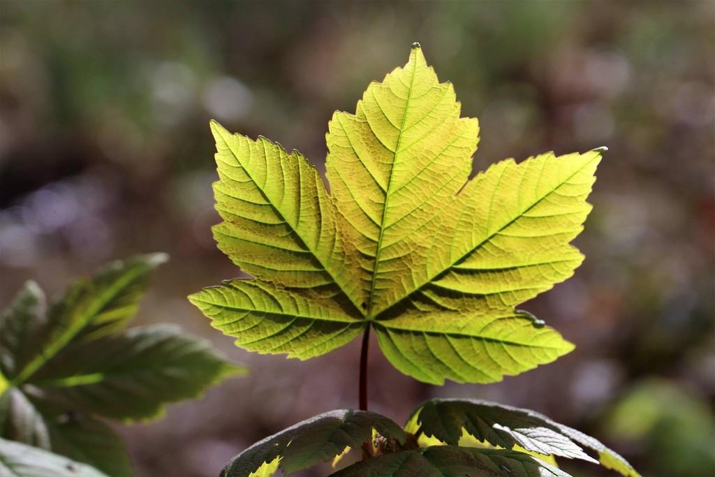 Maple Leaf. by carole_sandford