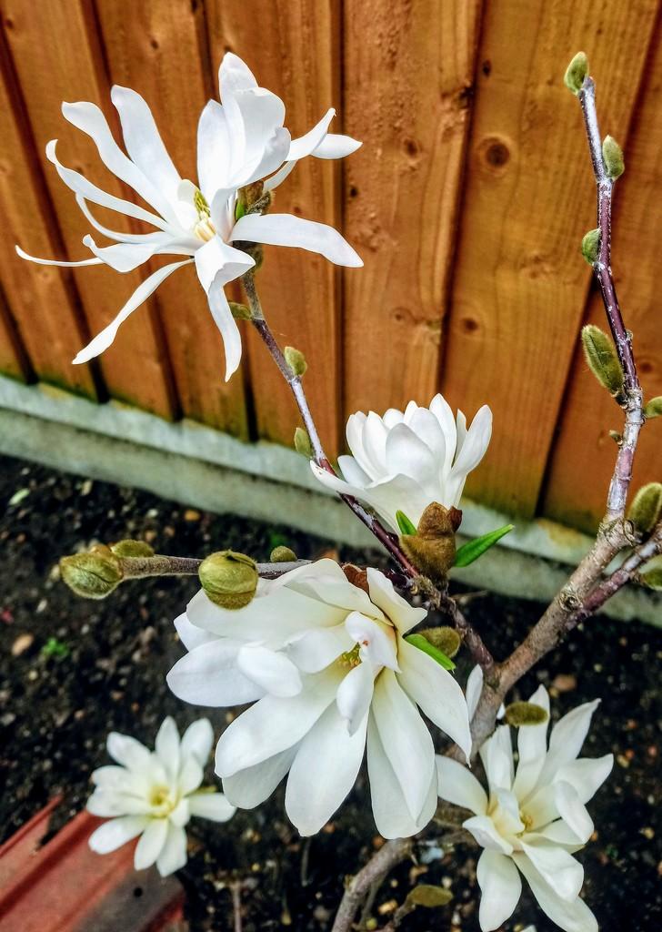 Magnolia stellata by boxplayer