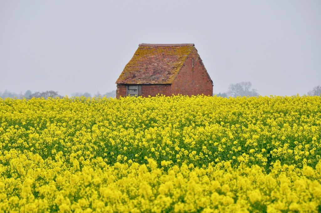 Rapeseed field by rosie00