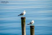 7th Apr 2019 - Seagull