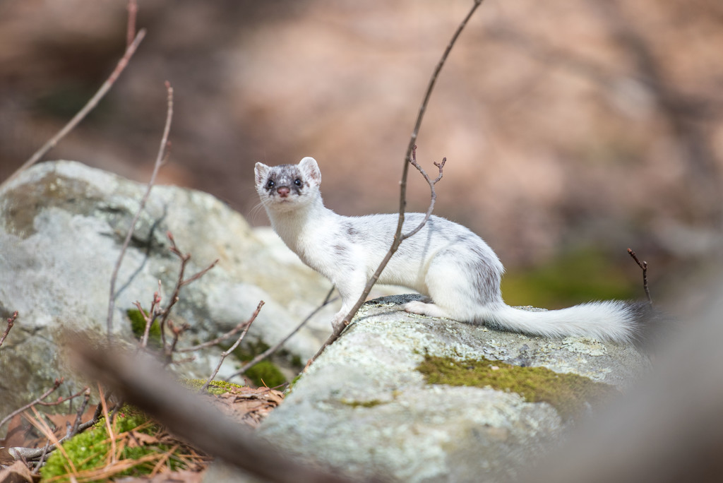 Long Tailed Weasel by dianen