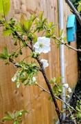 7th Apr 2019 - Cherry blossom