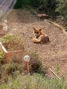 30th Mar 2019 - Foxy sunbathing