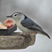 7th Apr 2019 - White Throated Nuthatch at the Feeder