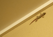 8th Apr 2019 - Gecko