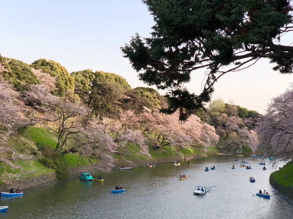 Chiyoda Cherry Blossom Festival by redy4et
