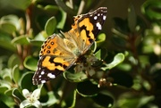 3rd Apr 2019 - painted lady