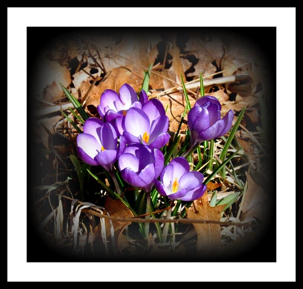 More crocus are up. by sailingmusic