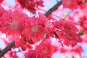 7th Apr 2019 - Blossoms