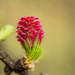 Amaranth flower larch by haskar