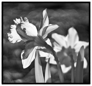 8th Apr 2019 - Daffodil in IR