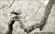 8th Apr 2019 - Collared dove