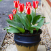 Tulips in a pot by ivan