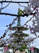 7th Apr 2019 - The Cherry Blossom Festival in San Francisco's Japantown