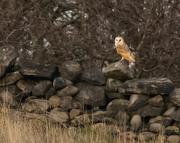 7th Apr 2019 - Barn Owl at Rest