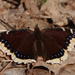 Mourning Cloak by annepann