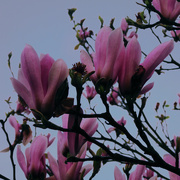 8th Apr 2019 - Magnolia blossoms