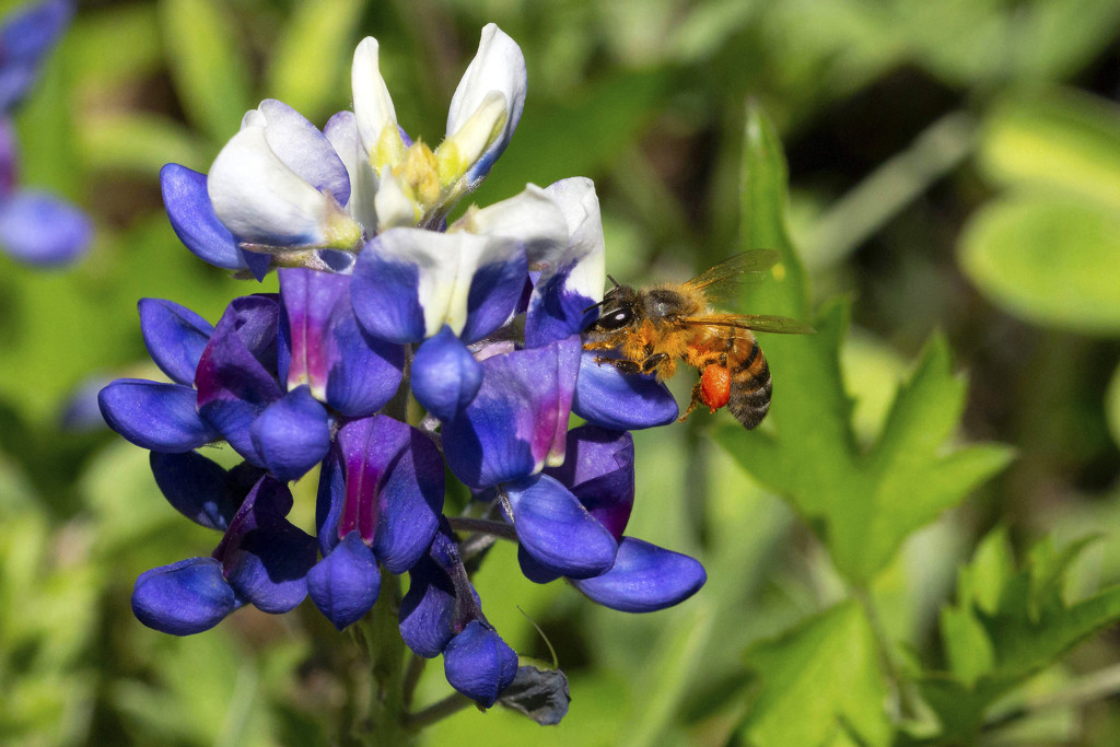 Busy Bee on Bluebonnet by gaylewood