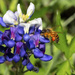 Busy Bee on Bluebonnet