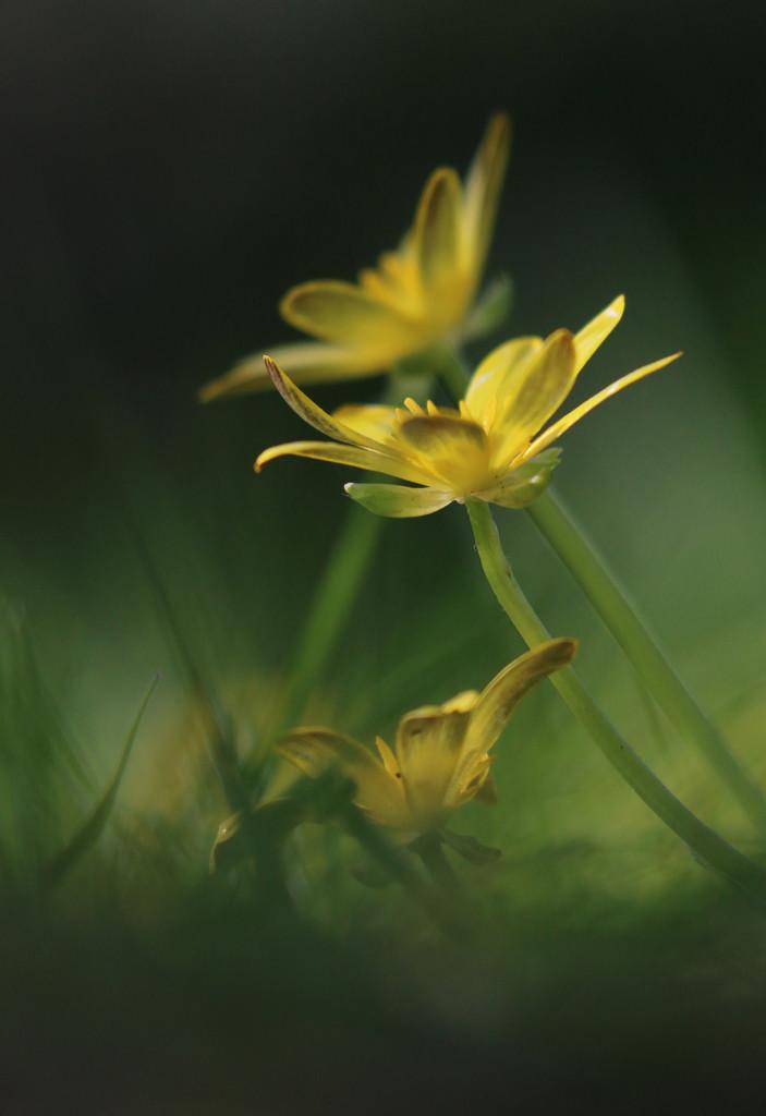 celandine by shepherdmanswife
