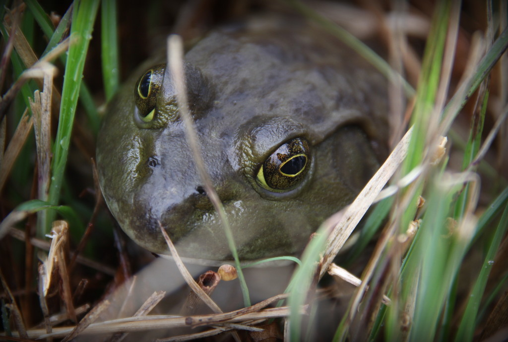 Bullfrog in the Grass by calm