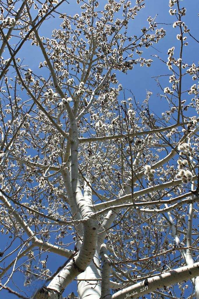 Aspen Tree by harbie