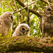 Barred Owl Family! by rickster549