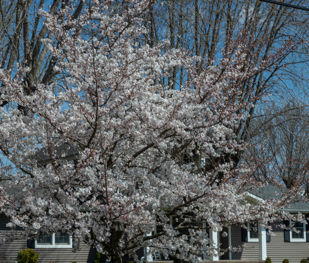 Flowering Tree I by hjbenson