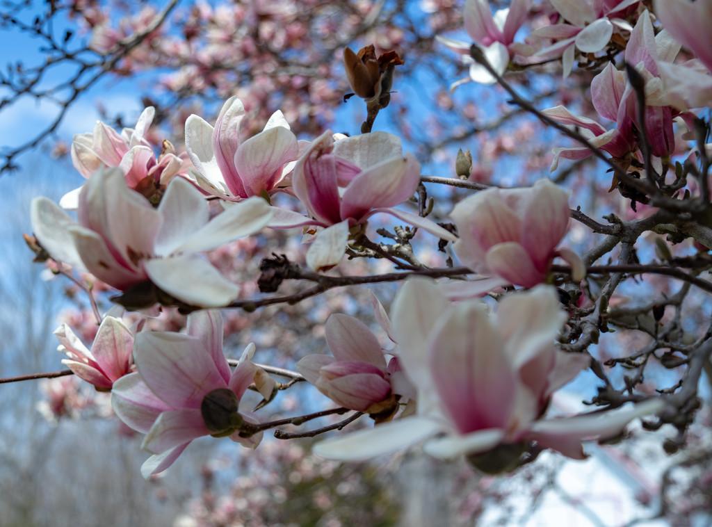 Flowering Tree II by hjbenson