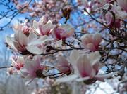8th Apr 2019 - Flowering Tree II