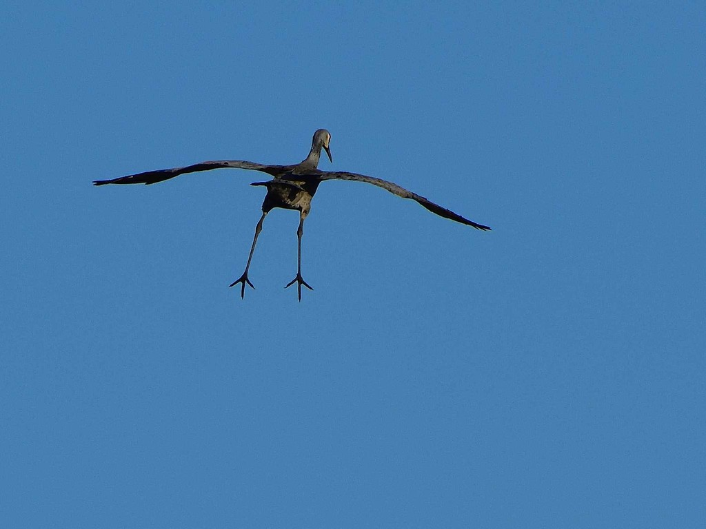 incoming-sandhill crane by mjalkotzy
