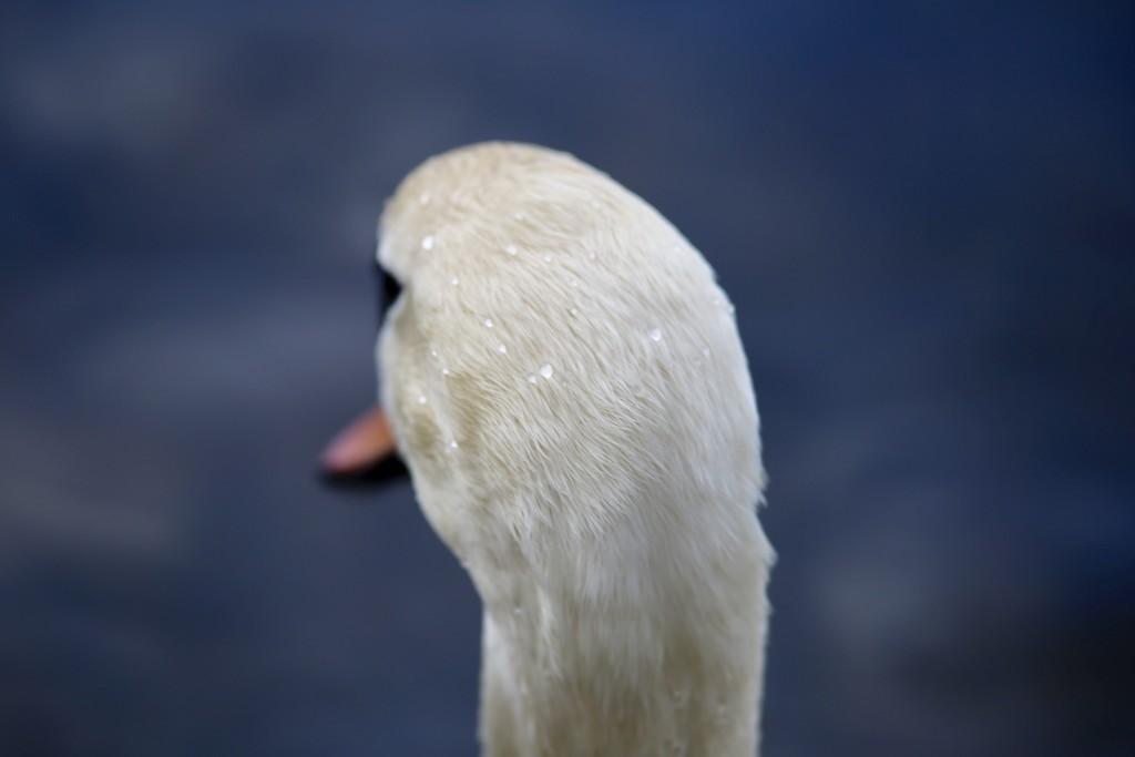 Swan's Head by phil_sandford