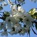 blossom by gijsje