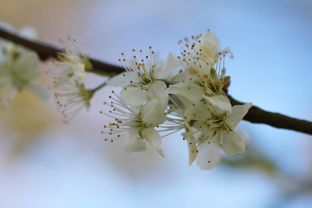 bullace flowers by callymazoo