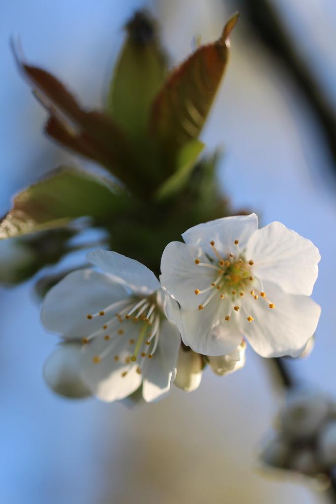 cherry by callymazoo