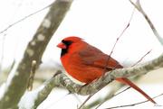 9th Apr 2019 - Mr. Cardinal