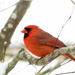Mr. Cardinal by novab