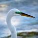 Great Egret - Close Up