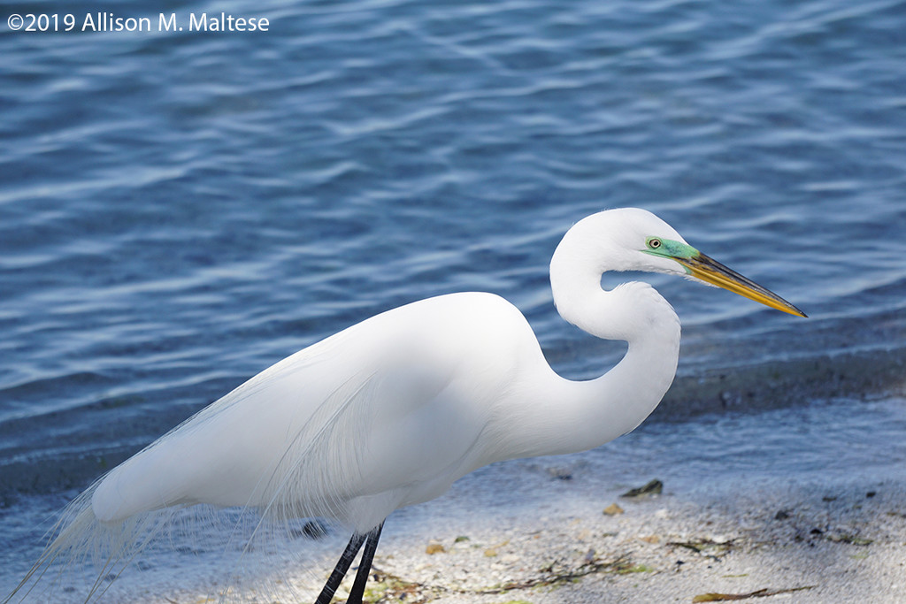 Great Egret by falcon11