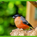 Bullfinch by carolmw
