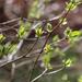 Lilac bush leaves