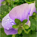 purple pansy in the rain