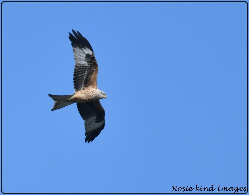 Red kite by rosiekind